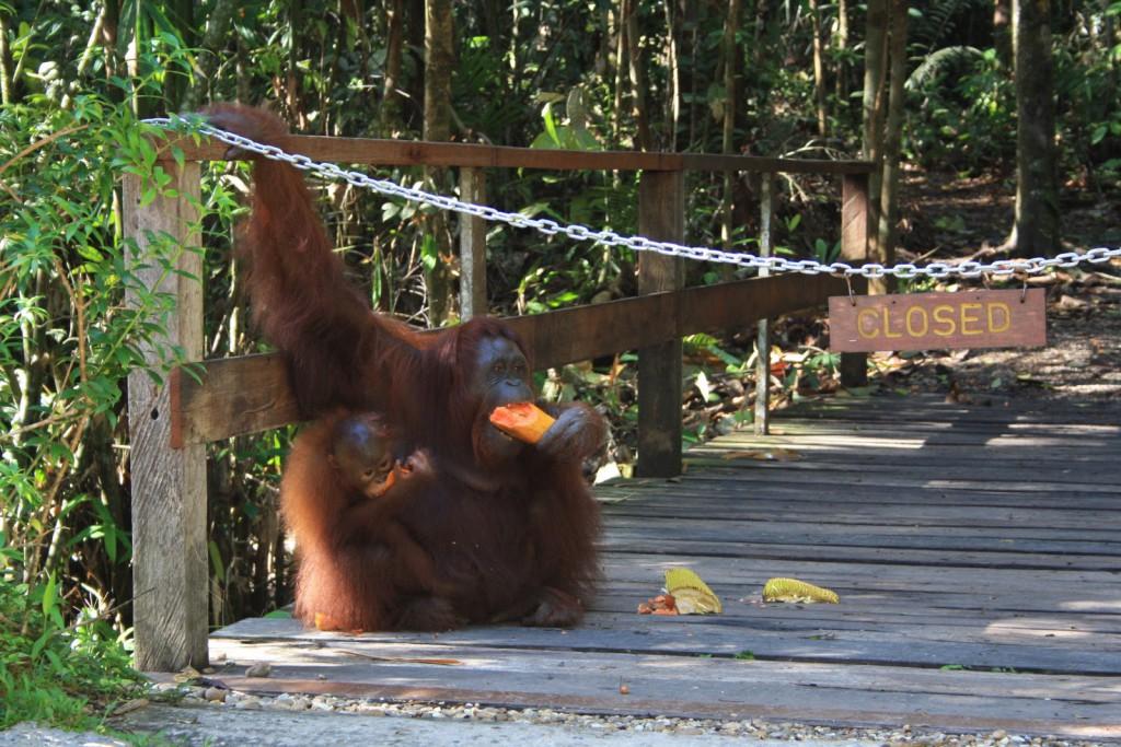 orangutans-semenggoh
