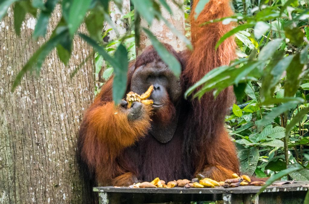 orangutans-leader