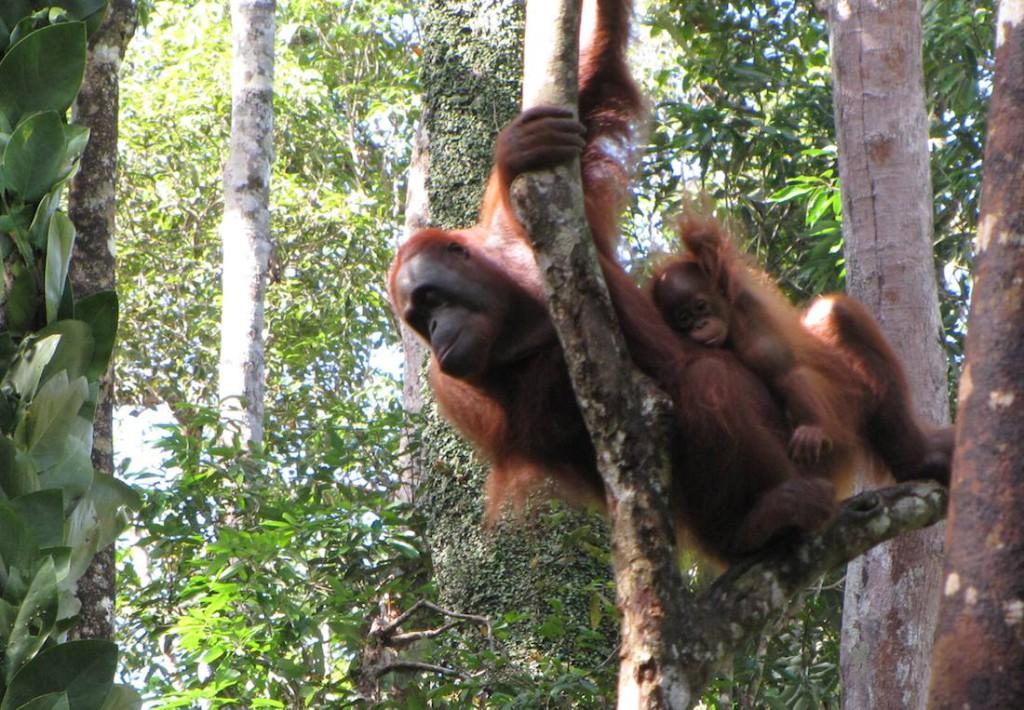 orangutans-hours