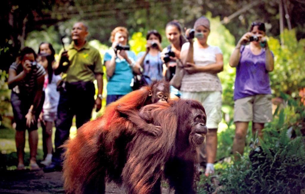 feeding-orangutans